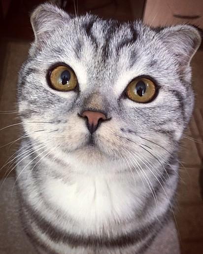 O gatinho Yeti Cat.
