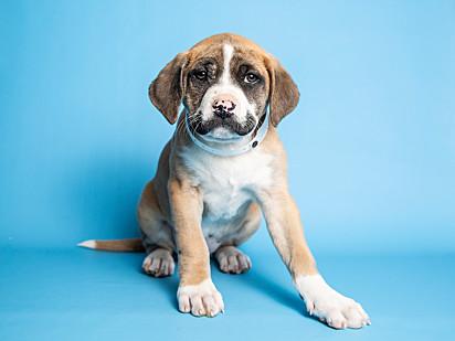 """A cachorrinha Mustachia com seu """"bigode"""" posa para foto no centro de resgate Arizona Humane Society."""