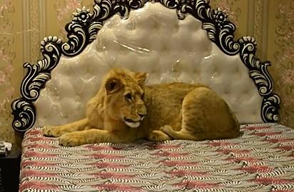 O leão pesa cerca de 80 kg.