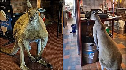Canguru se torna estrela do TikTok por frequentar bar todos os dias.
