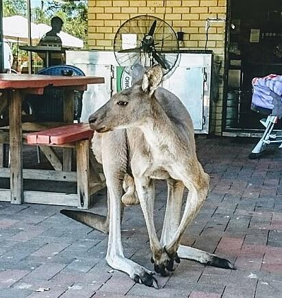 O canguru Matt frequenta o bar todos os dias.