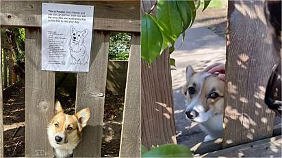 Donos de uma corgi colocam cartaz na cerca incentivando as pessoas a acariciarem a cadelinha.