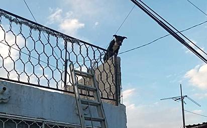 O cão foi resgatado por bombeiros em cima de um muro enrolado em fios de poste em Gómez Palacio, México.