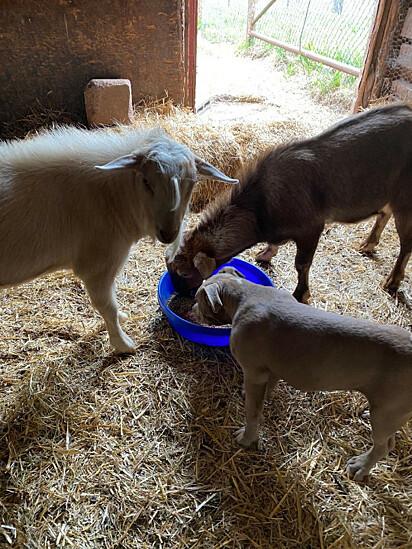 O cão Jude com cabras resgatadas.