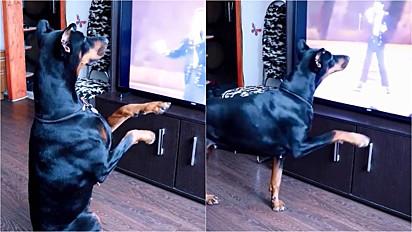 Dobermann assiste vídeo de Michael Jackson e imita os seus passos.