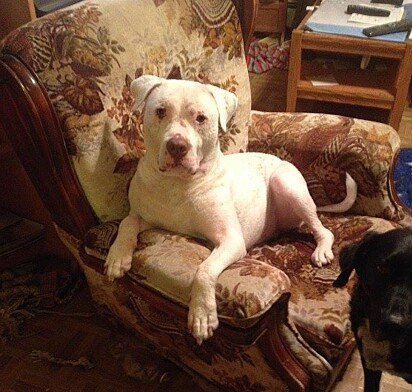 Mojo se tornou um lindo pit bull.