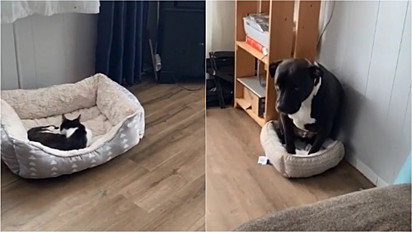 Gato deita na cama do pit bull e o cão cabisbaixo aceita.
