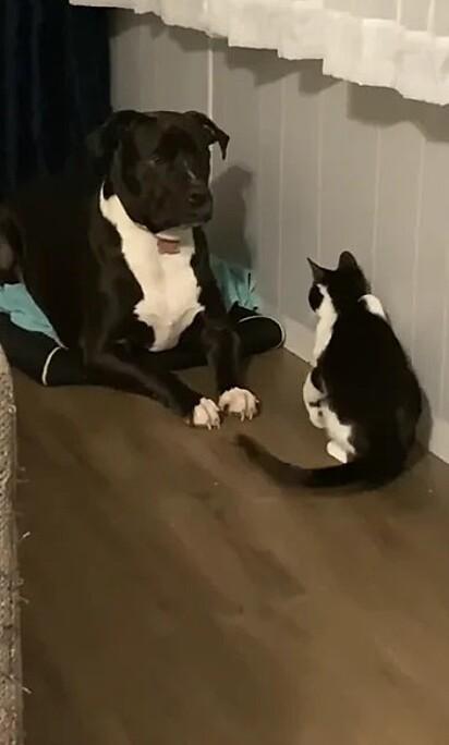 O pit bull Odin e o gato Superbad.