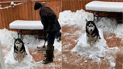 Husky siberiano apaixonado por neve impede que dono limpe-a do pátio.