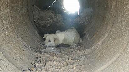 A cachorrinha encontrou segurança numa manilha de concreto.