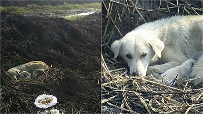 A cadela foi encontrada e resgatada com os seu filhotes de um arrozal queimado na Tailândia.
