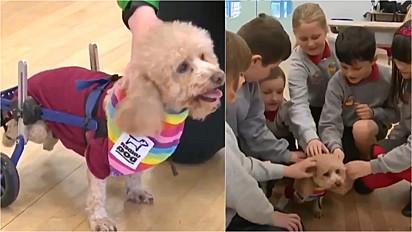 Um poodle toy com passado sofrido se torna cão de terapia em escola infantil.