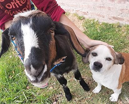 A cabra Vilma com a sua irmã canina Vaca.