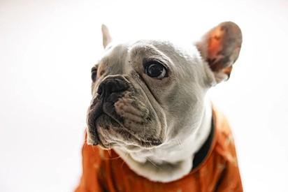 Tóquio, um bulldog francês, de 3 anos.