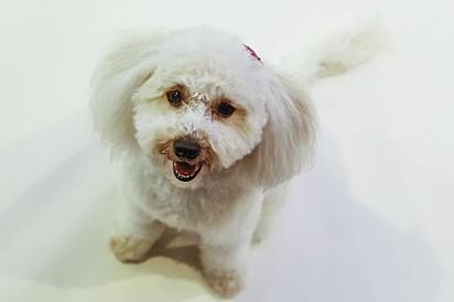 Toy Poodle, de 2 anos.