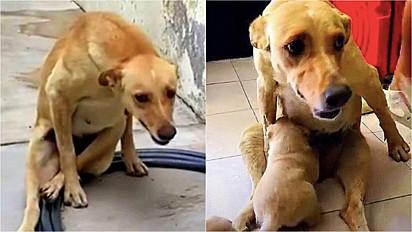 Cadela com coluna fratura, suporta a dor e fica sentada para amamentar seus filhotes.