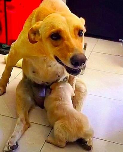 Mesmo machucada, a cadelinha Dora não mediu esforços para alimentar os seus filhotes.