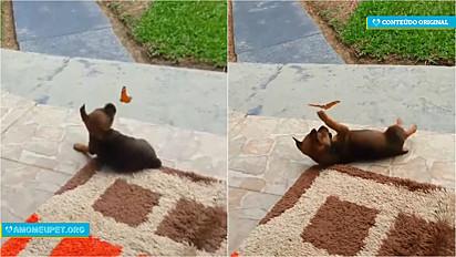 A cachorrinha Emy, de quatro meses, foi flagrada pelos donos brincando com uma borboleta em Mirim Doce, Santa Catarina.