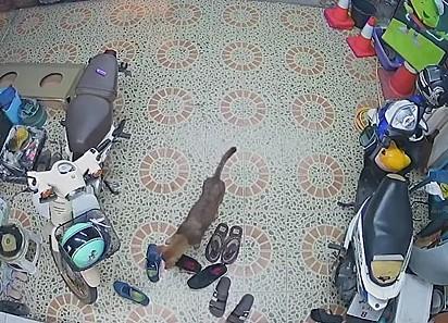 O cão escolhe calmamente qual calçado será a sua 'vítima'.