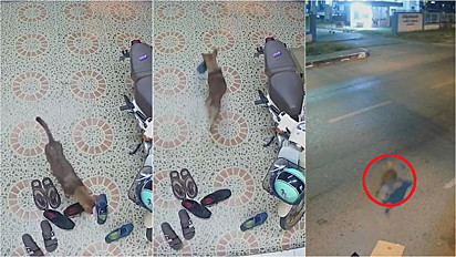 Cãozinho vira-lata foi flagrado pelas câmeras de segurança roubando um par de tênis em Songkhla, Tailândia.