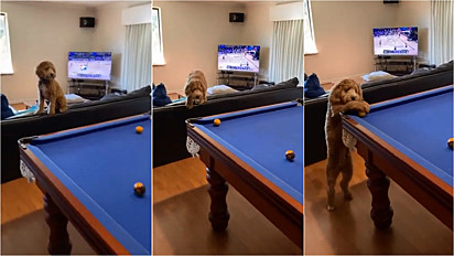 Labradoodle observa partida de sinuca dos donos aguardando o momento certo para encaçapar a bola para o dono.