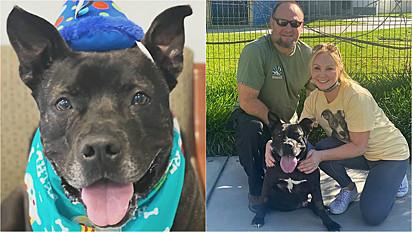 Pit bull que vivia em abrigo há quase dois anos, em Los Angeles, Califórnia (EUA) é adotado por família amorosa.