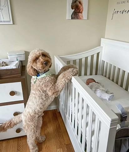 Bentley também avisa os donos quando o recém-nascido chora.