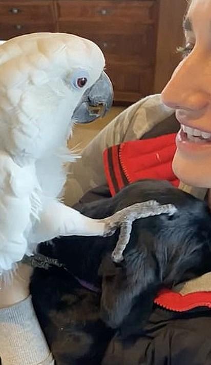 O papagaio Sweet Pea comoveu a dona ao repetir 'eu te amo' para o filhote de labrador recém-adotado.