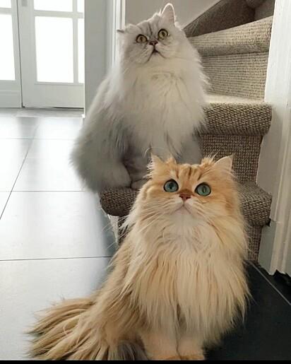 Smoothie com o seu irmão felino Milkshake.