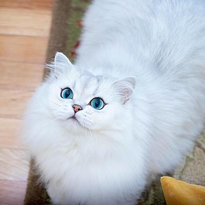 O gatinho Reggie da mesma raça da Smoothie.