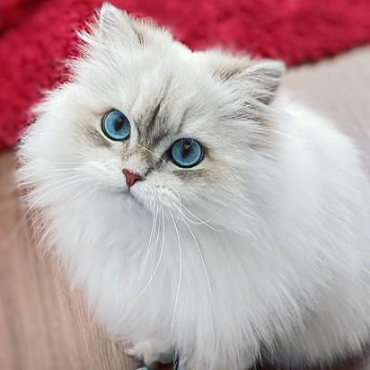 A gatinha Queen Cleopatra da mesma raça da Smoothie.