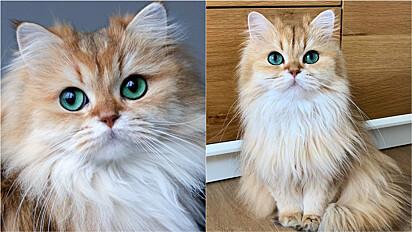 A gatinha Smoothie, da raça british longhair, nasceu em abril de 2014 na Holanda e tem feito o maior sucesso nas redes sociais.