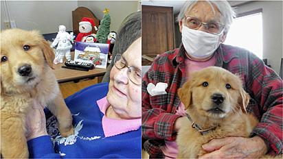 A filhote de golden retriever, Gracie, se tornou parte da equipe do asilo Good Samaritan Society em Sioux Falls, Dakota do Sul, Estados Unidos.