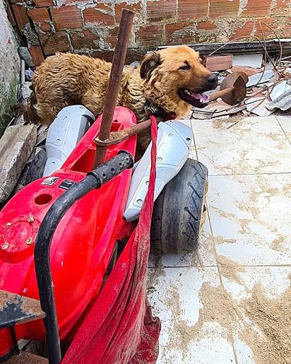 Mesmo após ser abandonado, cão volta para casa de tutor e é preso por uma camiseta.