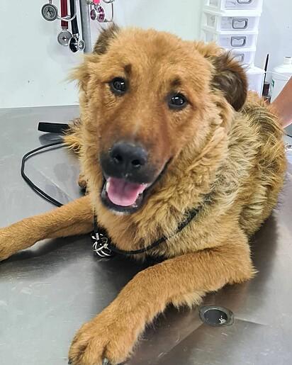 O cão Tufo está sendo bem cuidado pela ONG Grupo Forca Animal.