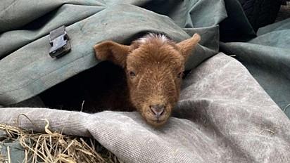 O cordeiro Steven perdeu o uso das patas traseiras um dia depois de nascer.