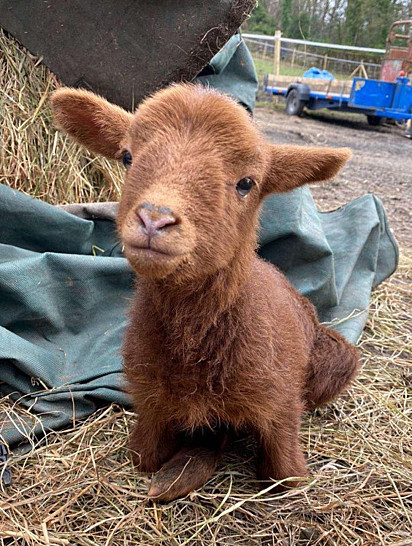 Apesar da limitação física, o cordeirinho Steven tem desfrutado de uma vida feliz ao lado de outros animais resgatados em uma fazenda da Inglaterra.