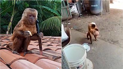 Macaco invade residência de família em Várzeas de Sousa, na Paraíba, rouba uma faca e faz a maior bagunça pela casa.