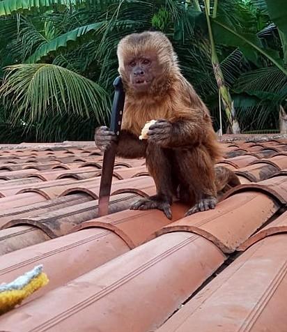 Macaco foi flagrado segurando faca, no Sertão da Paraíba.