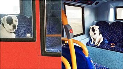 O pit bull se perdeu da dona, se refugiou em um ônibus e foi ajudado pelo motorista do veículo.