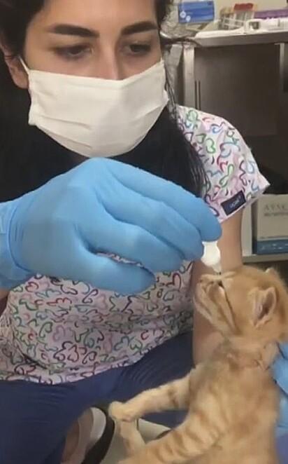 O filhote foi examinado e descobriram que ele estava com infecção no olho, a clínica interveio para a recuperação do felino.