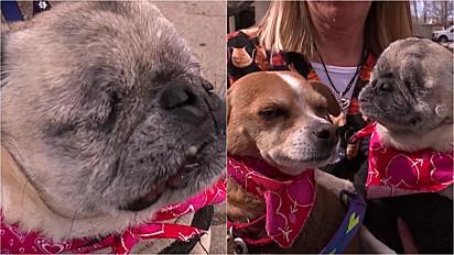 Pug precisou remover os olhos, pois sofria de uma grave cegueira e agora conta com a ajuda do seu amigo chihuahua para superar obstáculos.