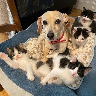 A cachorrinha Kona com os filhotes de gato.