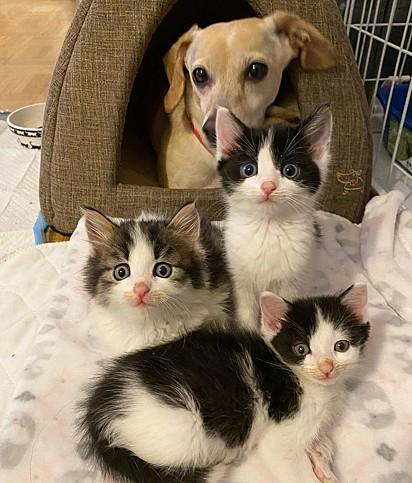 Kona ajuda a sua dona cuidar dos filhotes em lar temporário.