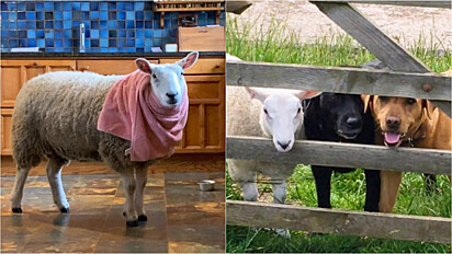Ovelha rejeitada pela mãe é adotada e criada como um animal de estimação.