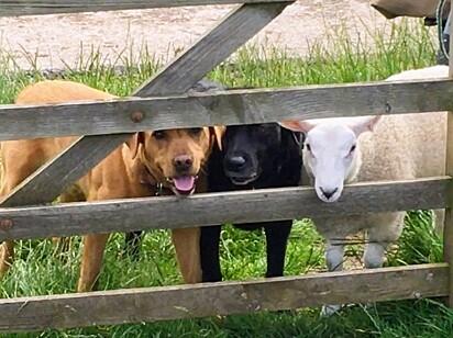 A ovelha junto de seus amigos.