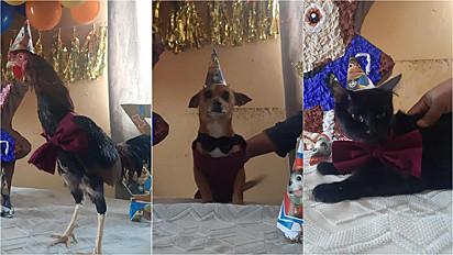 Chihuahua ganha festa de aniversário, respeitando o distanciamento social, recebendo somente os animais dos moradores da casa