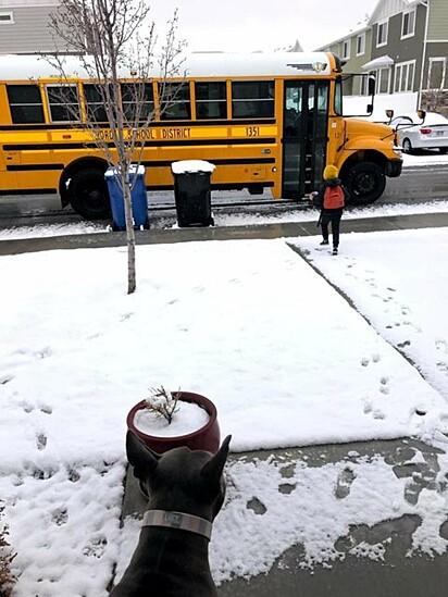 A pit bull aguarda ansiosamente a chegada do garotinho e do motorista de ônibus escolar.