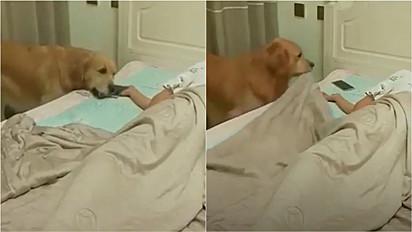 Em vídeo fofo cão da raça golden retriever aparece cobrindo o dono, tirando o celular da sua mão e apagando a luz.