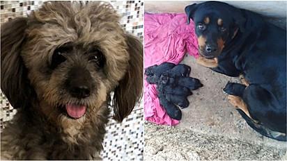 Poodle engravida rottweiler e o nascimento dos filhotes espanta família.
